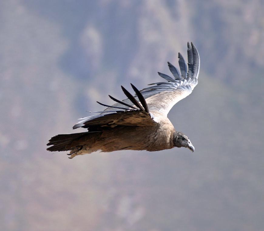 Peru Reizen Condor
